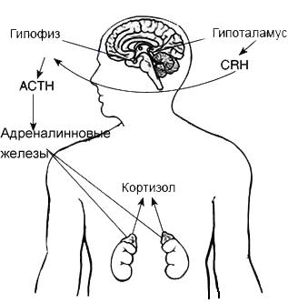 Уровень кортизола в крови